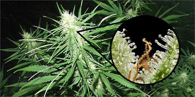 PotBotics Przeanalizuje Twój Mózg i Wybierze Idealną Odmianę Marihuany Dla Ciebie, jamaica.com.pl