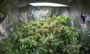 Jak utrzymać zapach marihuany pod kontrolą?, jamaica.com.pl