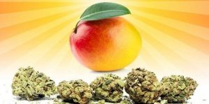 Jak mango może zwiększyć haj?, jamaica.com.pl