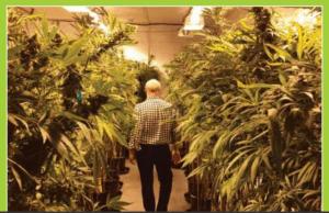 Niemiecki pacjent sam się zaopatruje w cannabis, jamaica.com.pl