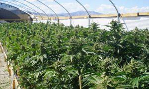 Teneryfa: odkryto plantację marihuany o powierzchni 4.500 m2, jamaica.com.pl