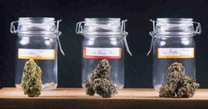 Poszukiwani testerzy marihuany, jamaica.com.pl