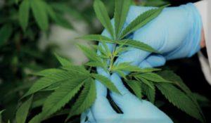 Dutch Passion zapowiada projekty z medyczną marihuaną, jamaica.com.pl