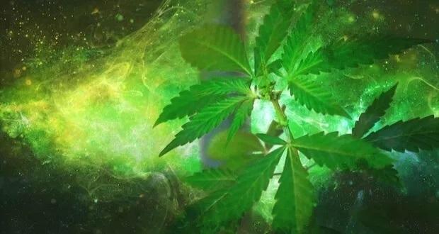 Horror Na Temat Turbo Cannabisu, jamaica.com.pl