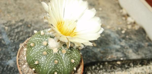 Kaktusy z Meskaliną, jamaica.com.pl