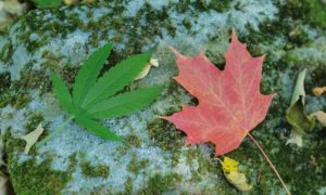 "Kanada: ""Cannabis Act"" przeszedł przez senat, jamaica.com.pl"