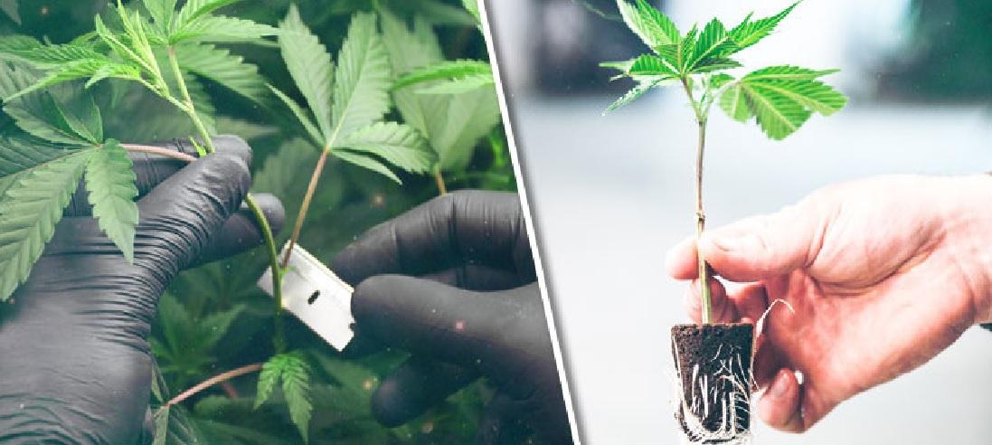 Jak Uzyskać Sadzonki z Roślin Konopi Indyjskich?, jamaica.com.pl