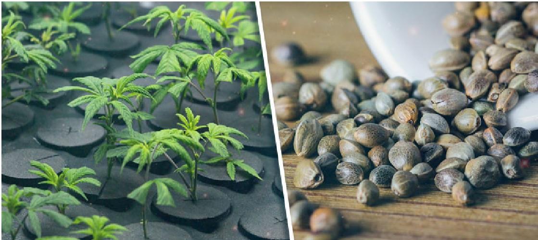 Nasiona Marihuany a Klony, jamaica.com.pl