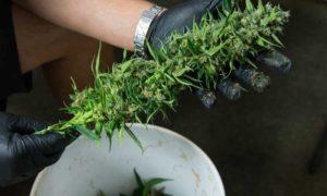 Całkowita legalizacja cannabisu w USA do 2025 roku, jamaica.com.pl